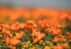 antelope valley poppy fields